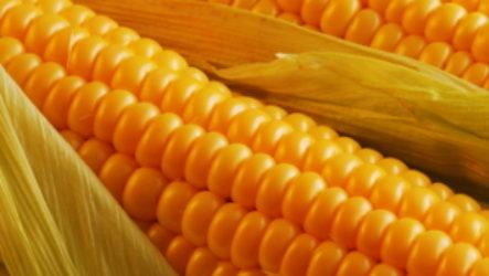 Можно ли кормящей маме кушать кукурузу при грудном вскармливании