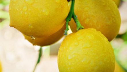 Можно ли кормящей маме при грудном вскармливании есть лимон или пить чай с ним