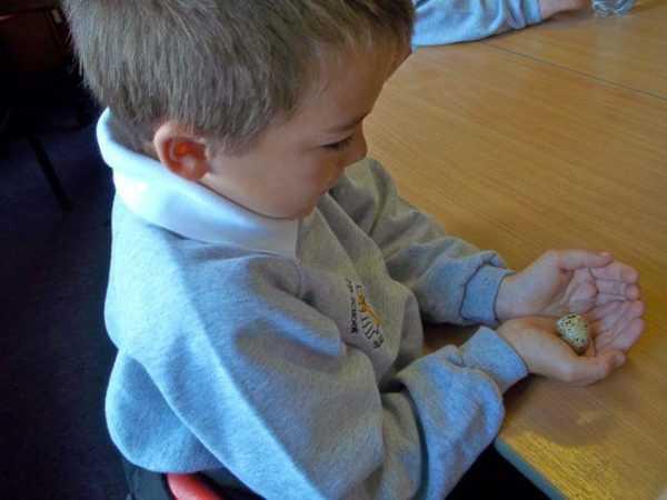Давать яйца перепелов можно начиная с 8-месячного возраста